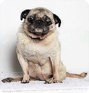Pug Dog for adoption in Gardena, California - Cleopatra