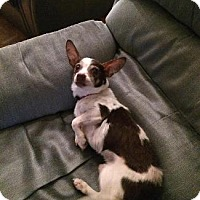 Chihuahua Mix Dog for adoption in Pt. Richmond, California - JIMMY