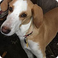 Adopt A Pet :: Ingrid - Sugar Grove, IL