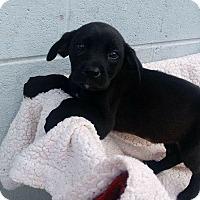 Labrador Retriever/Boxer Mix Puppy for adoption in Patterson, New York - Mia