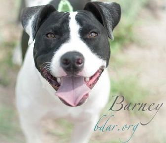 American Staffordshire Terrier/Border Collie Mix Dog for adoption in Cheyenne, Wyoming - Barney