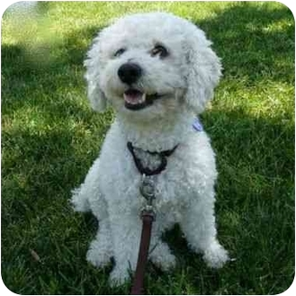 Poodle (Miniature) Dog for adoption in San Clemente, California - DUDLEY