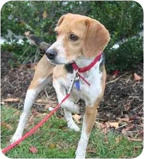 Beagle Dog for adoption in Waldorf, Maryland - Bebe