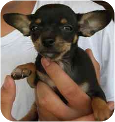 Chihuahua Puppy for adoption in Chesterfield, Missouri - Suzy
