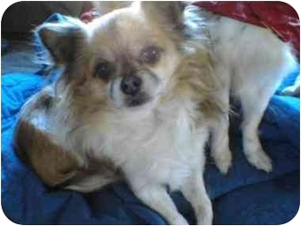 Chihuahua Dog for adoption in Lake Forest, California - Gizmo