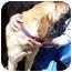Photo 2 - Golden Retriever Mix Dog for adoption in Huntingdon, Pennsylvania - Sheba
