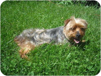 Yorkie, Yorkshire Terrier Mix Dog for adoption in Milaca, Minnesota - Gabby