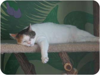Domestic Mediumhair Cat for adoption in Columbia, Illinois - Bella