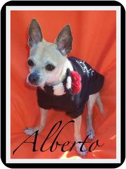Chihuahua Dog for adoption in Orange, California - Alberto (Bertie)