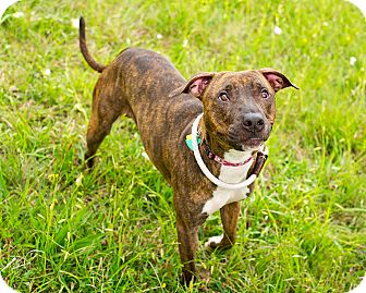 Boxer/English Bulldog Mix Dog for adoption in Friendswood, Texas - Angel