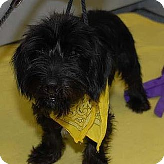 Scottie, Scottish Terrier Mix Dog for adoption in Columbia Heights, Minnesota - Spanky