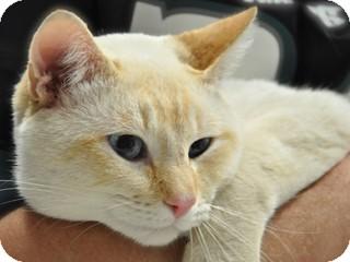 Siamese Cat for adoption in Great Falls, Montana - Simon