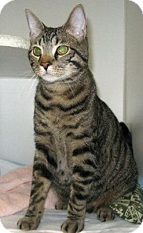 Domestic Shorthair Cat for adoption in Powell, Ohio - Lincoln