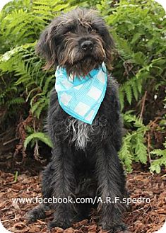 Labradoodle Mix Dog for adoption in Pasadena, California - Finnegan 'Finny' 'Finn'
