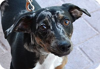 Dachshund Mix Dog for adoption in Gilbert, Arizona - Cappuccino