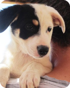 Beagle/Terrier (Unknown Type, Small) Mix Puppy for adoption in Poway, California - Sousa