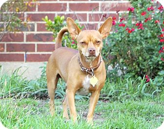 Chihuahua Mix Dog for adoption in Kempner, Texas - Dixon