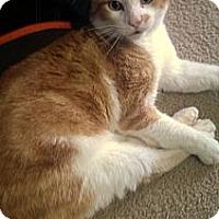 Adopt A Pet :: Tangerine - Alexandria, VA