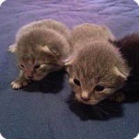 Adopt A Pet :: Daphne's 4 Kittens - Xenia, OH