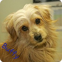 Adopt A Pet :: Buffy - Norfolk, NE