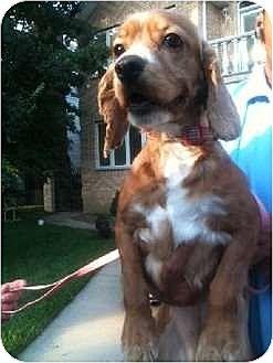 Cocker Spaniel Dog for adoption in Flushing, New York - Valerie