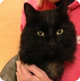 Domestic Longhair Cat for adoption in McHenry, Illinois - Victor