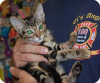 Domestic Shorthair Kitten for adoption in Brooklyn, New York - HawkEye