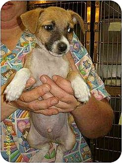 Chihuahua/Jack Russell Terrier Mix Puppy for adoption in Portland, Maine - Casey