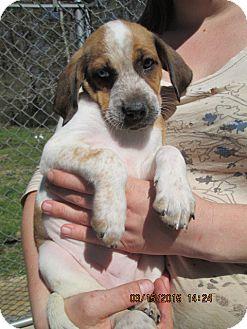 Catahoula Leopard Dog/Foxhound Mix Puppy for adoption in Portland, Maine - Bianca