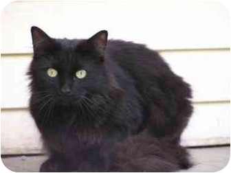 Domestic Longhair Cat for adoption in Randolph, New Jersey - Princess
