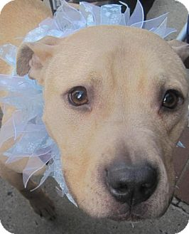 American Bulldog/Pit Bull Terrier Mix Dog for adoption in Point Pleasant, Pennsylvania - ANTHONY - ADOPTION PENDING