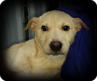 Labrador Retriever Mix Dog for adoption in Brattleboro, Vermont - Dale