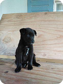Shar Pei/Labrador Retriever Mix Puppy for adoption in springtown, Texas - Jo Jo