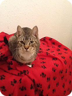 Domestic Shorthair Cat for adoption in Houston, Texas - Henry