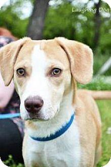Basset Hound/Beagle Mix Puppy for adoption in Stillwater, Oklahoma - Quinn