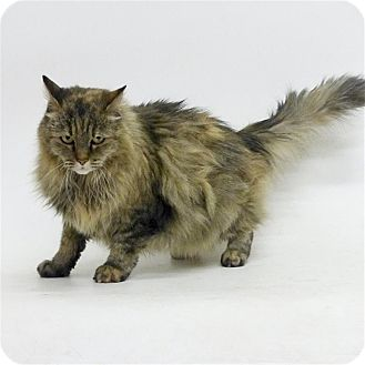 Domestic Longhair Cat for adoption in Sedona, Arizona - Roxie