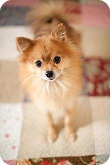 Pomeranian Dog for adoption in Dallas, Texas - Adam