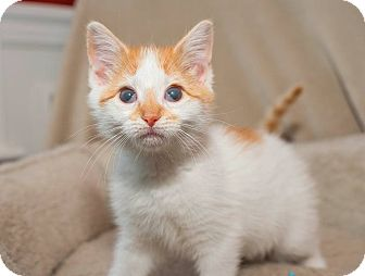 Domestic Shorthair Kitten for adoption in North Haledon, New Jersey - Leia