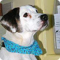Adopt A Pet :: Archie-URGENT - Providence, RI