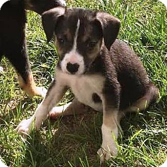 Australian Shepherd/Hound (Unknown Type) Mix Puppy for adoption in Kalamazoo, Michigan - Gloria - Lisa