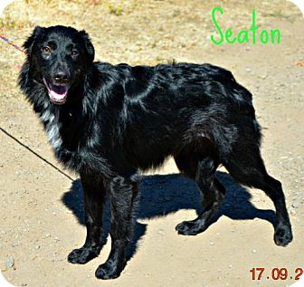 Border Collie Mix Dog for adoption in Yreka, California - Seaton