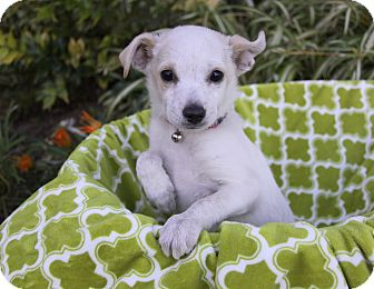 Terrier (Unknown Type, Small) Mix Puppy for adoption in Newport Beach, California - COMET
