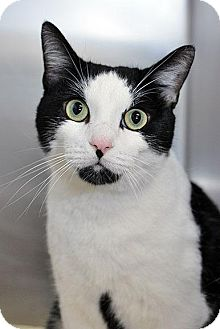 Domestic Shorthair Cat for adoption in Fort Leavenworth, Kansas - Theodore
