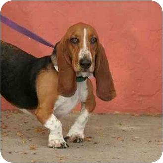 Basset Hound Dog for adoption in Denver, Colorado - Baxter