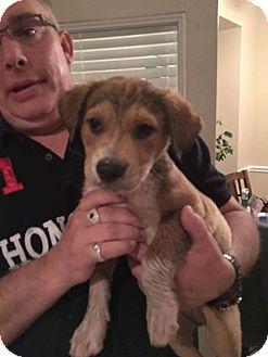 Labrador Retriever Mix Puppy for adoption in Brattleboro, Vermont - Puppy Moe