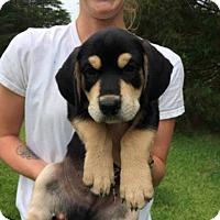 Adopt A Pet :: Dover (Capital Pups) - Alexandria, VA