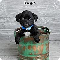 Adopt A Pet :: Kressie - Denver, CO