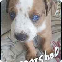 Adopt A Pet :: Marshall ready 7/13/17 - Palm Bay, FL