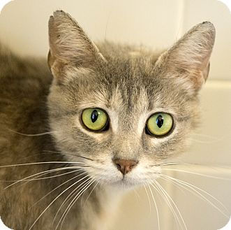 Domestic Shorthair Cat for adoption in Chicago, Illinois - Tyler
