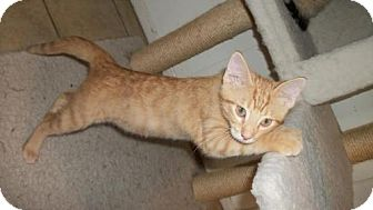 Domestic Shorthair Kitten for adoption in Lacon, Illinois - Louis